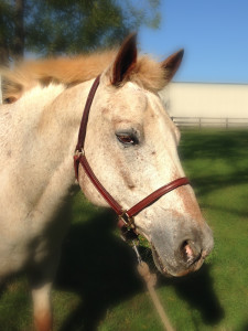 Therapy Horse Teddy